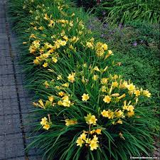 stella daylily stella d oro daylily hemerocallis american