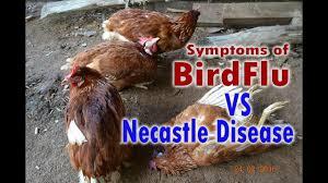 bird flu h5n1 avian flu vs newcastle disease symptoms poultry