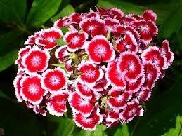 sweet william flowers sweet william flowers