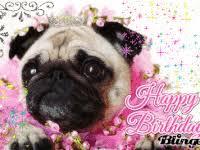 Birthday Pug Meme - happy birthday pug gifs popkey