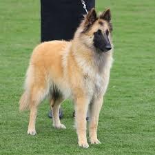 belgian shepherd kempsey aria tervailles kennel