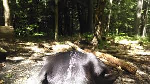 bluetick coonhound dander bluetick coonhounds