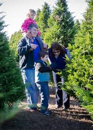 choose and cut live christmas trees at thornhill christmas tree