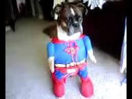 boxer dog utah danzig the boxer dog is superman youtube