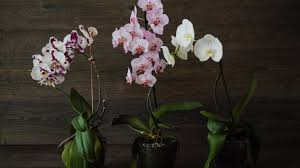 Orchid Plant 5 Ways To Keep Your Orchid Alive Sunset