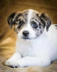 australian shepherd puppies rescue i found conway on australian shepherd dogs shepherd dog and