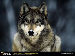 wolf picture wolf desktop wallpaper free wallpapers download