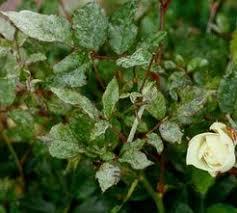 Rust Disease On Plants - natural remedies for rose diseases mildew rust black spot canker