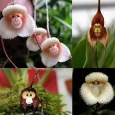 monkey orchid 10pcs monkey orchid flower seeds plant seed bonsai diy