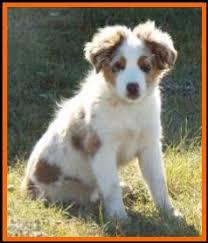 australian shepherd 16 weeks flocks ghost eye u0027s mustang ruby blue eyed red merle miniature