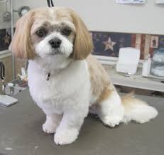 pictures of shih tzu haircuts shih tzu poodle hairstyles fade haircut