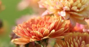 Picture Of Mums The Flowers - bloomiq