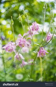 photo pink aquilegia flowers garden common stock photo 684796591