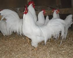 Backyard Chicken Com Backyard Chickens 5 Best Breeds For Egg Layers