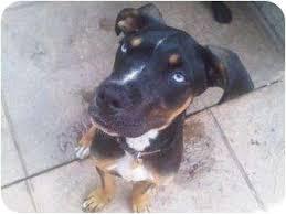 australian shepherd boxer mix bart adopted puppy 10099859 oklahoma city ok boxer