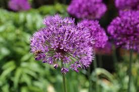 types of purple types of alliums