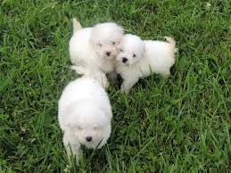 bichon frise breeders in pa the happy woofer bichon frise delaware dog breeder puppies