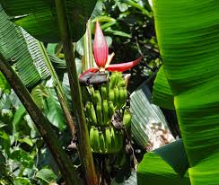 bananas of northeast india in pictures news knowledge