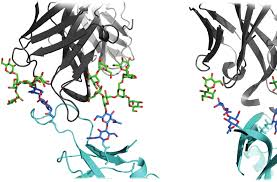structure and immune recognition of the hiv glycan shield