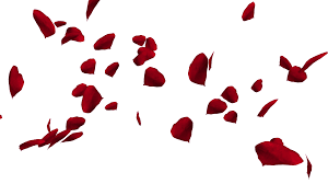Rose Petals Falling And Swirling Red Rose Petals Over White Background