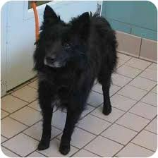 belgian shepherd rescue dogs shawn adopted dog minerva oh border collie belgian shepherd mix