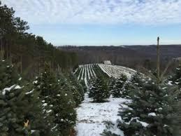 wholesale trees pine hill farms tree farm