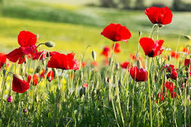 poppies flowers poppies flowers poppy flower meaning flower meaning poppies