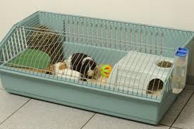 Cages For Guinea Pigs What You Ought To Know About Caring For Baby Guinea Pigs