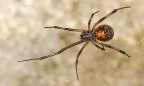 Black Widow Spiders Had A - southern black widow