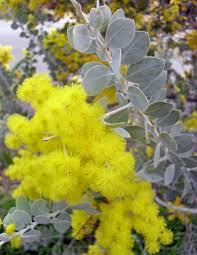 queensland native plants acacia podalyriifolia wikipedia