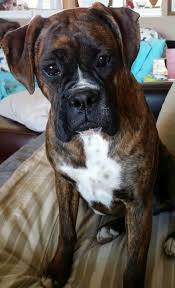boxer dog reverse brindle 17 best images about dogs on pinterest pets puppys and look at