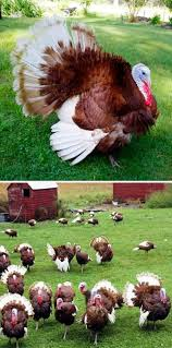 25 best turkeys images on chicken poultry and bourbon