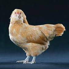 buy easter egger chickens day easter egger bantam pet chickens coops and