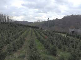 nc christmas tree farmers not worried about shortage wfmynews2 com