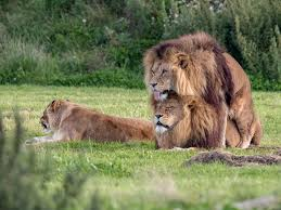 pride two male lions seen u0027mating u0027 at wildlife park the