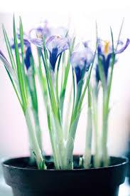 indoor saffron care u2013 how to grow saffron crocuses inside