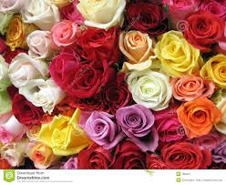 multicolored roses multicolored roses stock images image 708424