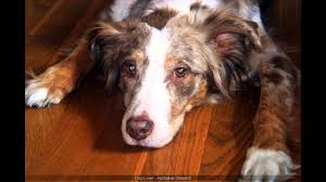 characteristics of a australian shepherd australian shepherd beagle mix youtube