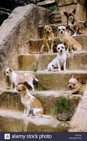 te chichi the lost city of techichi chihuahua dogs beverly chihuahua