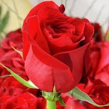 Rose Flower Images Black Rose Flower Rose Flower Divine Flowers Hosur Id