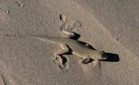 Seeking Lizard Protections Sought For Yuman Desert Fringe Toed Lizard And 6 Other