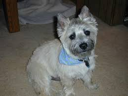 cairn hair cuts rafferty ray hickman stoneridge engineering s male cairn terrier