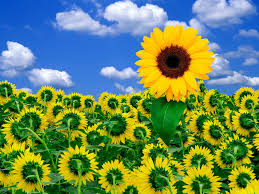 foto wallpaper bunga matahari sun flowers flowers wallpapers