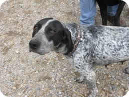 bluetick coonhound with cats tracker adopted dog 12 1922 libby mt pointer bluetick