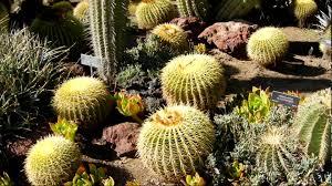 Huntington Botanical Garden by Golden Barrel And Saguaro Cactus Huntington Botanical Gardens
