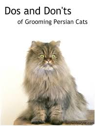 dos and don u0027ts of grooming persian cats meow lifestyle