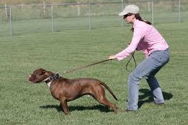 Comfort Dogs Certification Service Dog Training And Certification Therapy Dog Training