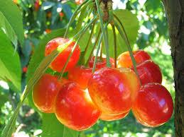 Cherry Tree Fruit - fruit trees u2013 lane forest products