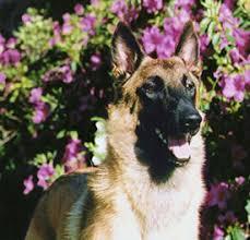belgian shepherd standard belgian malinois breed standard and information c u0027villa rowehaus