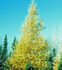 arbor tamarack the conifer that dares to be different
